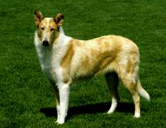 Sable Merle Smooth Collie